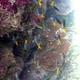 Yellowtail Demoiselle