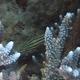 Five-lined Cardinalfish