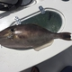 Unicorn Filefish