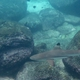 Blacktip Reef Shark (Juvenile)