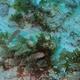 Greenblotch Parrotfish (Juvenile)