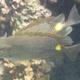 Golden Rabbitfish