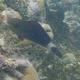 Bullethead Parrotfish