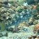 Notch-headed Marblefish