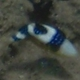 Starry Triggerfish (Juvenile)