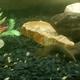 Lesser Spiny Eel
