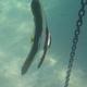Rounded Batfish (Juvenile)
