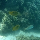 Three-blotched Rabbitfish