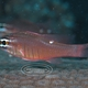 Moluccan Cardinalfish