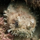 Western Frogfish
