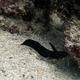 Sailfin Catfish