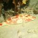 Manybar Goatfish