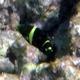 Barred Thicklip Wrasse (Juvenile)