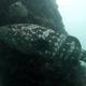 Malabar Grouper