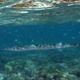Spot-tail Needlefish