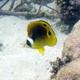 Raccoon Butterflyfish (Juvenile)