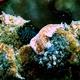 Laing Island Flatworm
