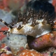 Marionia sp.6 Nudibranch