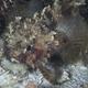 Grunting Toadfish (Juvenile)