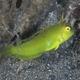 Whitepatch Razorfish (Juvenile)
