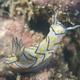 Kanga Nudibranch
