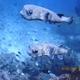 Spot-fin Porcupinefish