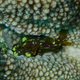 Yellow-spotted Scorpionfish
