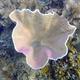 Membraneous Coral