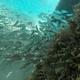 Mackerel Scad