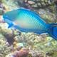 Bluepatch Parrotfish