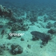 Roving Coral Grouper