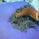Blackfoot Anemonefish