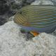 Striped Surgeonfish