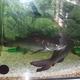Blue Salmon Catfish