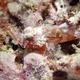 Painted Scorpionfish