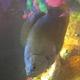 Giant Redtail Gourami