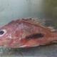 Noline Scorpionfish
