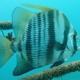 African Spadefish