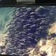 Striped Catfish (Juvenile)