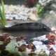 Fivespot African Cichlid