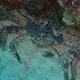 Channel Clinging Crab
