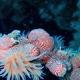 Leopard Anemone Shrimp