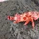 Canary Scorpionfish