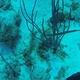 Trumpetfish (Juvenile)