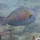 Raggedtooth Parrotfish