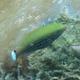 Swarthy Parrotfish (Juvenile)
