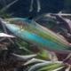 Spot-tail Coris