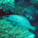 White-lined Grouper