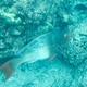 The Redlip Parrotfish - Whats That Fish!