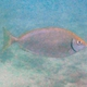 Dusky Rabbitfish